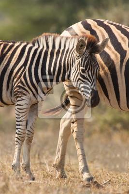 Zebra klacz i źrebię stojących blisko siebie w buszu dla bezpieczeństwa