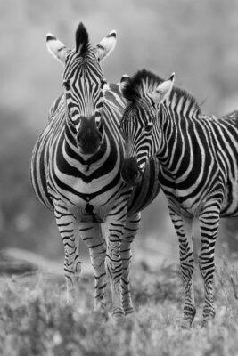 Zebra klacz i źrebię stojących blisko siebie w buszu dla bezpieczeństwa A
