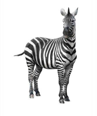 Naklejka Zebra na białym tle