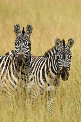 Naklejka Zebra na użytkach zielonych w Afryce