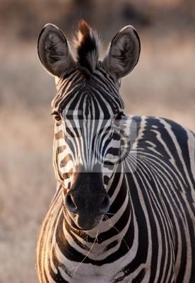 Naklejka Zebra na zmierzchu w słabym świetle jedzenia suchej trawy