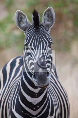 Naklejka Zebra portrait in colour photo with heads close-up