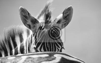 Zebra portret na zdjęciu z głową zbliżenie artystycznej konwersji