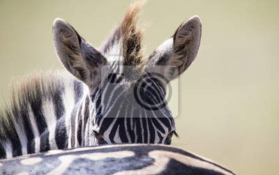 Zebra portret w kolor fotografii z kierowniczym zakończeniem patrzeje