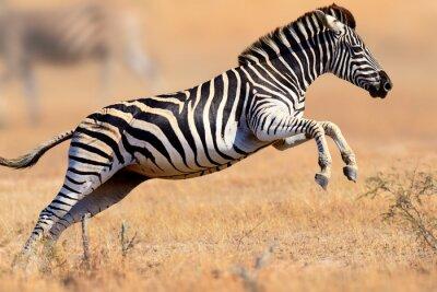 Naklejka Zebra running and jumping