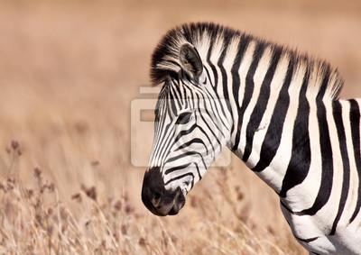 Naklejka Zebra spaceru w trawie ziemi