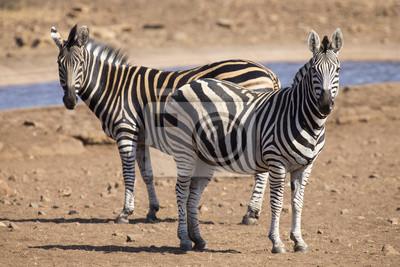 Naklejka Zebra stada na zdjęciu koloru stojąc przy wodopoju
