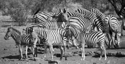 Naklejka Zebra stada w czarno-białe zdjęcie z głowami