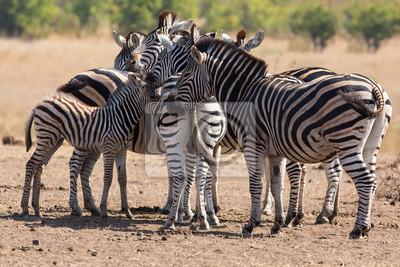 Naklejka Zebra stada w kolorze zdjęcie z głowami
