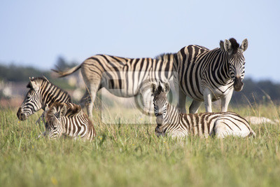 Naklejka Zebra stado spoczywa na krótko zielona trawa w rezerwacie przyrody