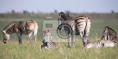 Zebra stado spoczywa na krótko zielona trawa w rezerwacie przyrody