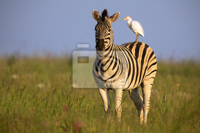 Naklejka Zebra standing on a hill with an egret on its back being alert