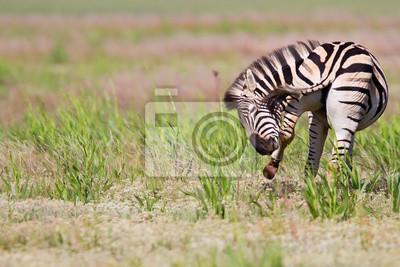 Naklejka Zebra stoi w przyrodzie