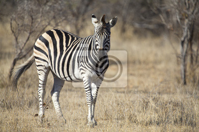 Naklejka Zebra stoi w trawie wśród drzew w okresie zimowym