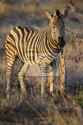 Zebra stojących w trawie wśród drzew w okresie zimowym