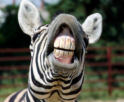 Naklejka Zebra uśmiech i zęby
