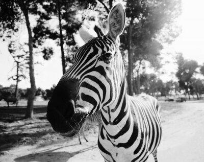Naklejka Zebra w Safari w Tel Awiwie