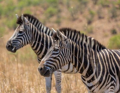 Naklejka Zebra w wysokiej trawie