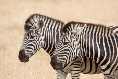 Naklejka Zebry, Kruger Park, Republika Południowej Afryki