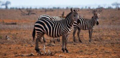 Naklejka Zebry, Tsavo East National Park