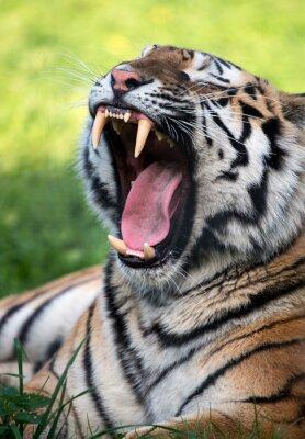 Zęby tygrysa Baring