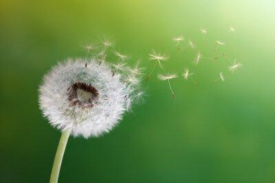 Naklejka Zegary Dandelion w porannym słońcu