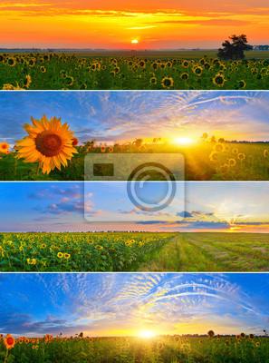 Zestaw pól słonecznika rano