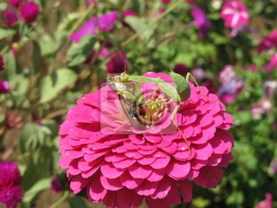 Zielona Mantis Eating ofiary na różowy kwiat