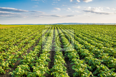Naklejka Zielone pole upraw ziemniaka w rzędzie
