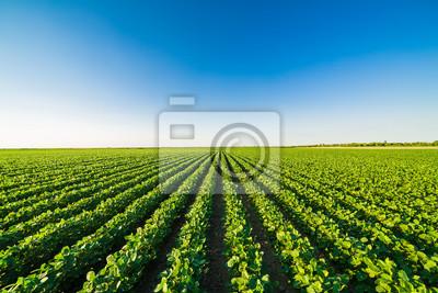 Naklejka Zielony dojrzenie soi pole, rolniczy krajobraz