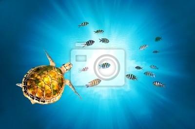Naklejka Zielony żółw pływanie