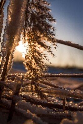 Zimowe słońce w trzcinach