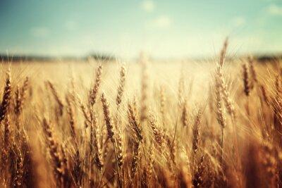 Naklejka złote pola pszenicy i słoneczny dzień
