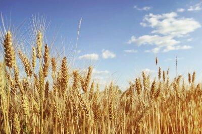 Naklejka Złote pole pszenicy