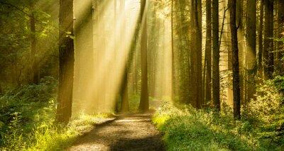 Naklejka Złote Promienie światła wpadające zadaszenia drzew na jesieni rano z drogi w lesie.