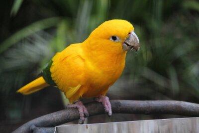Naklejka Złoty conure Parque das Aves w Brazylii