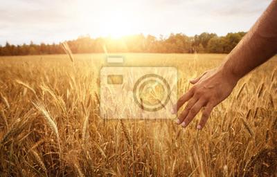 Naklejka Żniwa pojęcie, zamyka up męska ręka w pszenicznym polu z kopii przestrzenią