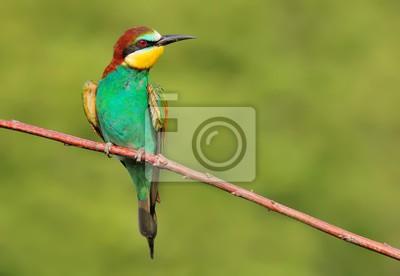 Naklejka Żołna (Merops apiaster) na gałęzi