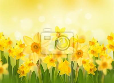 Żółte żonkile z motyli, wiosna tle kwiatów.