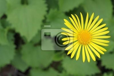 żółty kwiat dziki