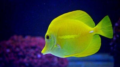 Naklejka Żółty Tang w akwarium z rafą koralową