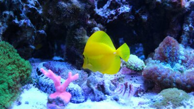Naklejka Żółty Tang (Zebrasoma flavescens)