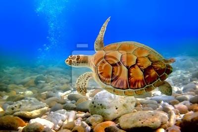 Naklejka żółw morski