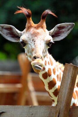 Naklejka Żyrafa..
