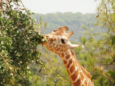 Naklejka Żyrafa