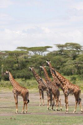 Naklejka Żyrafa africane