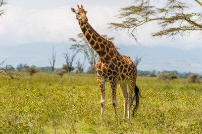 Naklejka Żyrafa na wsi