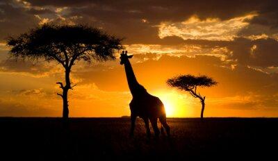 Naklejka Żyrafa o zachodzie słońca na sawannie. Kenia. Tanzania. Wschodnia Afryka. Doskonałą ilustracją.