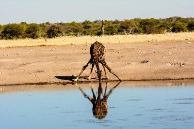 Naklejka żyrafa pitnej przy wodopoju