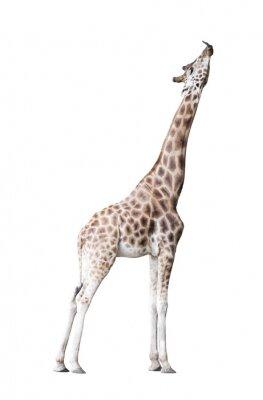 Naklejka Żyrafa samodzielnie na białym tle